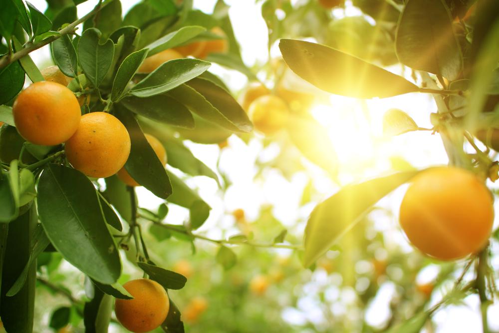 Fructele unui portocal se zăresc printre razele de soare