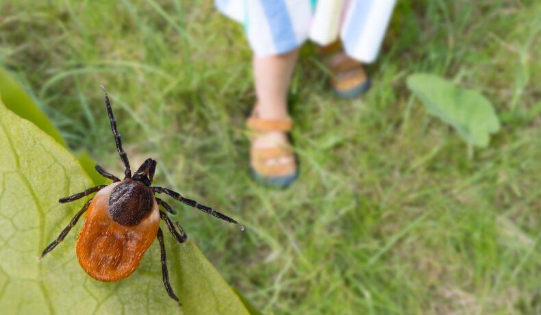 O frunză pe care se află o căpușă brună-maronie care așteaptă să se prindă pe piciaorele unei gazde care are nevoie să afle ce trebuie să faci dacă te înțeapă o căpușă