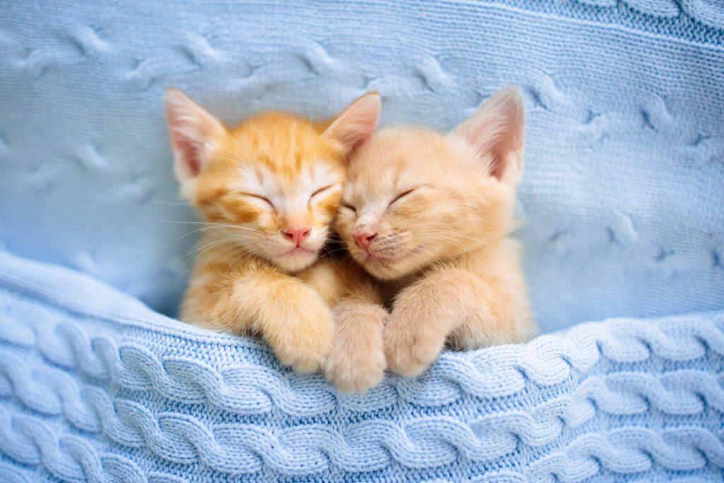 Două pisici vărgate, portocaliu, care dorm într-un material albastru, tricotat, una lângă cealaltă