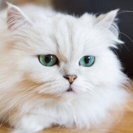 Pisică albă, cu ochi albaștri, care stă pe o podea de lemn. E pufoasă și se uită în jos