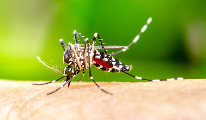 Un țânțar pe pielea unui om, pe un fundal verde