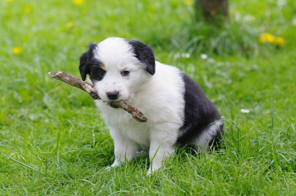 Câine alb cu negru, pui, care stă în iarbă. Are un bâț mic în botic