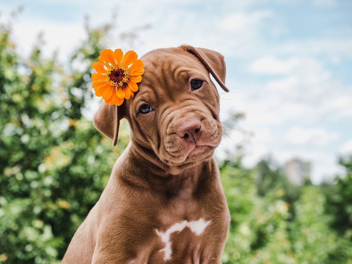 Câine maro cu alb pe fundal cu verdeață și cer. Are o floare portocalie pusă la ureche